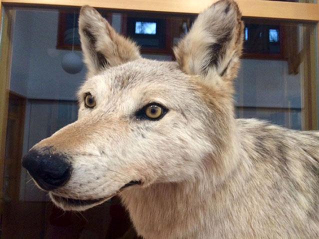 Wolf_in_Deutschland